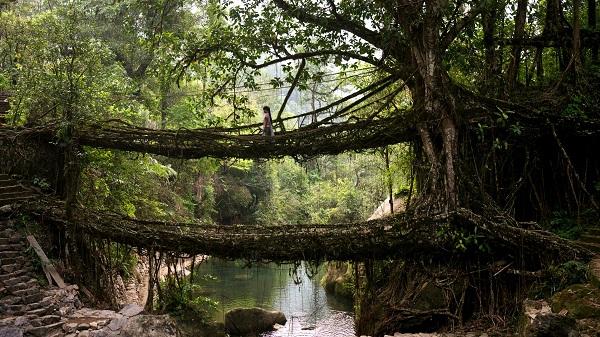 Living Root Twin Bridges