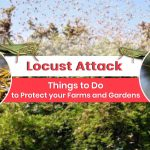 Locust Attack: Things to Do to Protect your Farms and Gardens