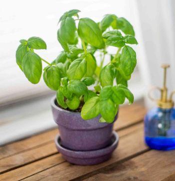 Basil Plant Indoor Plant
