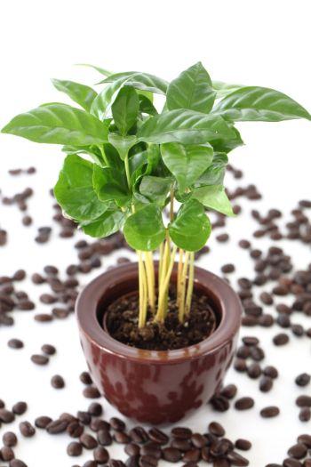 Coffee indoor Plant