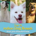 Top 15 Indian Dog Breeds that you Should Know
