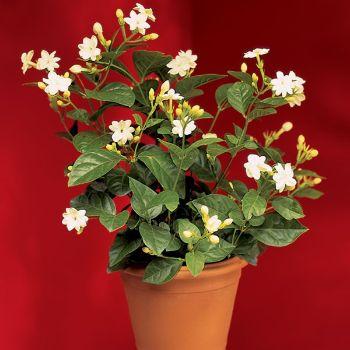 Jasmine Indoor Plant