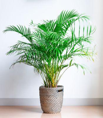 Palms Indoor Plant