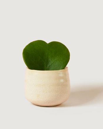Sweetheart Plant