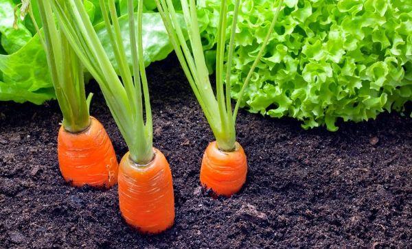 Carrots Plant