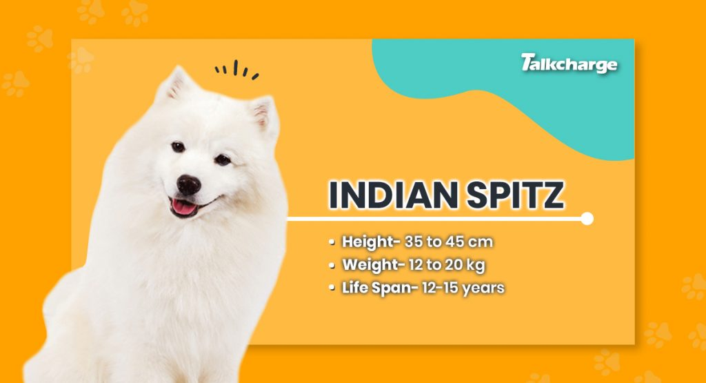 Indian Spitz - Small Dog Breed in India