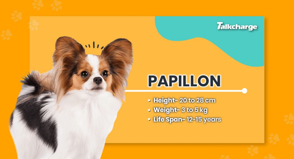 Papillon - Small Dog