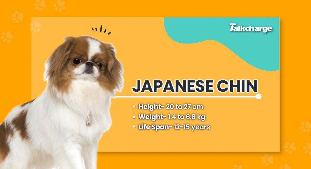 Japanese Chin - Cute Dog