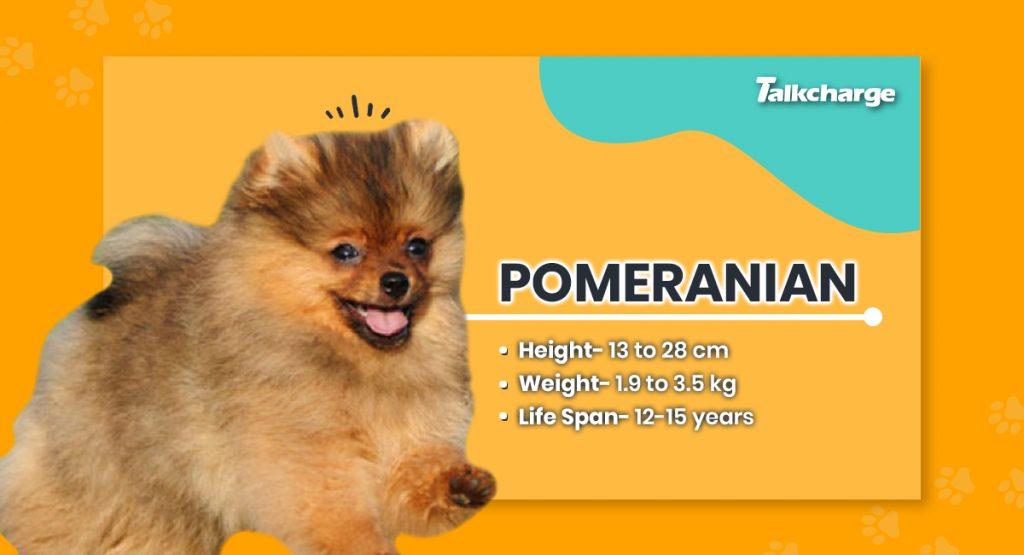 Pomeranian - Small Dog Breed