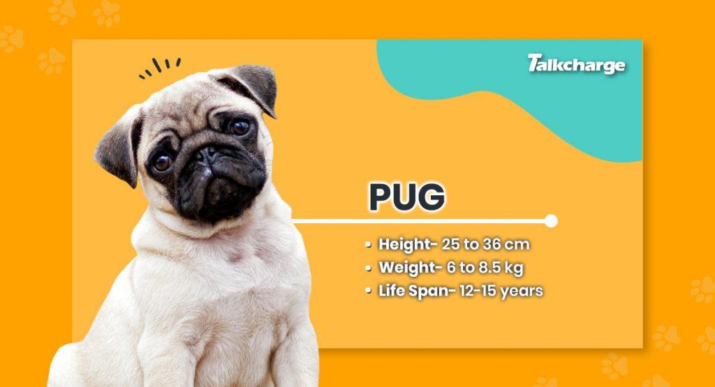 Pug - Cute Dog