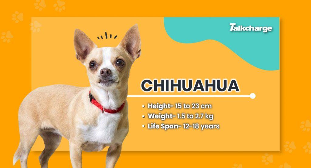 Chihuahua - Small Dog Breeds