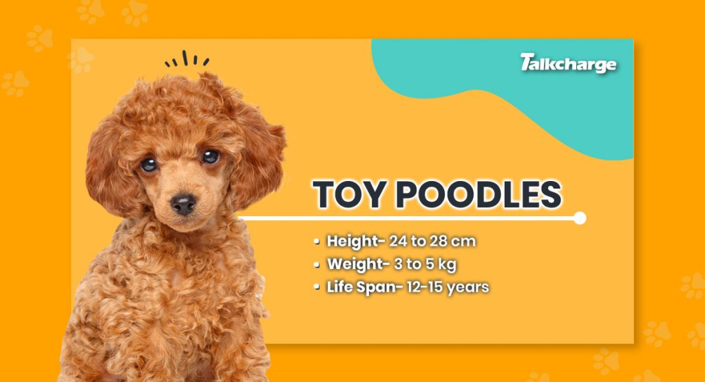 Toy Poodles - Toy Dog
