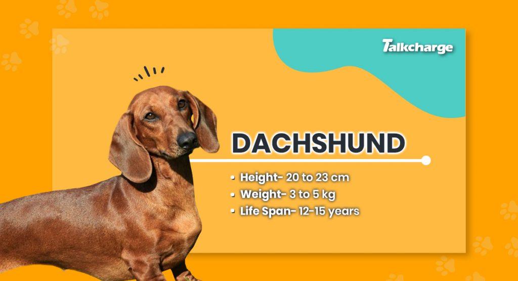 Dachshund - Small Dog Breeds