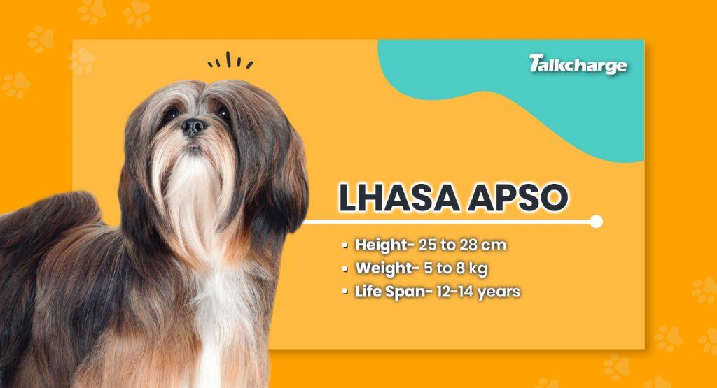 Lhasa Apso - Small Dog