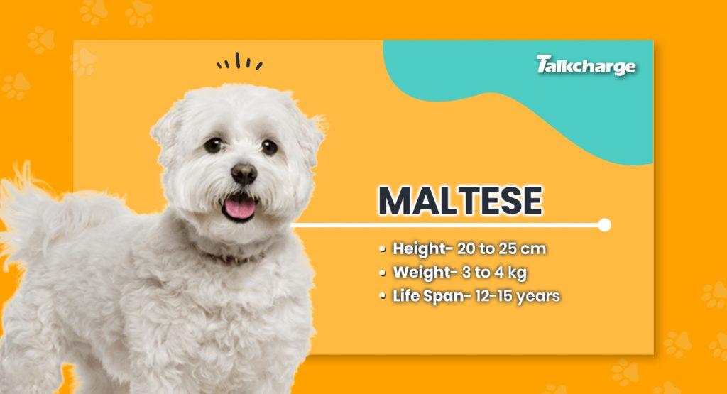 Maltese - Toy Dog