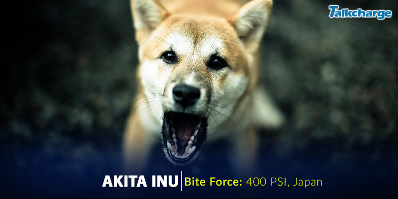 Akita Inu