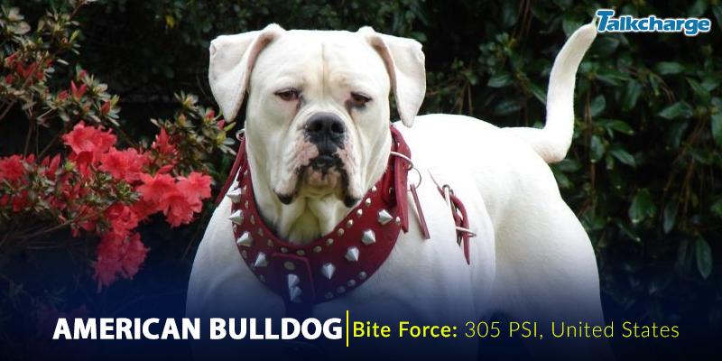 American Bulldog - Most Dangerous Dog Breeds