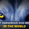 Most Dangerous Dog Breeds in the World: Breeding History & Biting Force