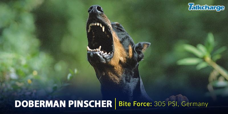 Doberman Pinscher - Most Dangerous Dog Breeds