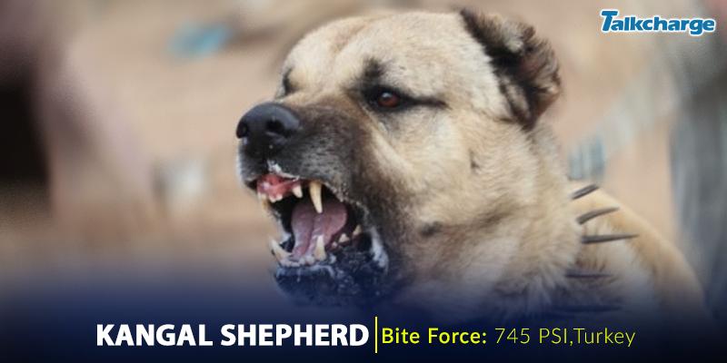 Kangal Shepherd Dog - Dangerous Dog Breeds