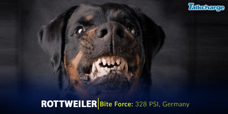 Rottweiler - Dangerous Dog Breeds In The World