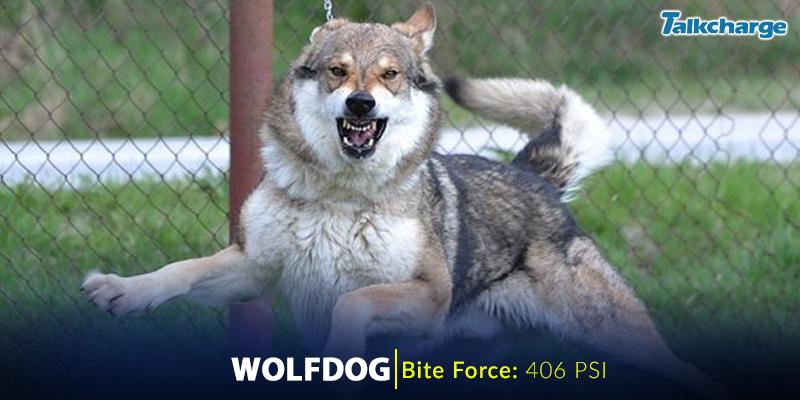 Wolfdog - Dangerous Dog Breeds