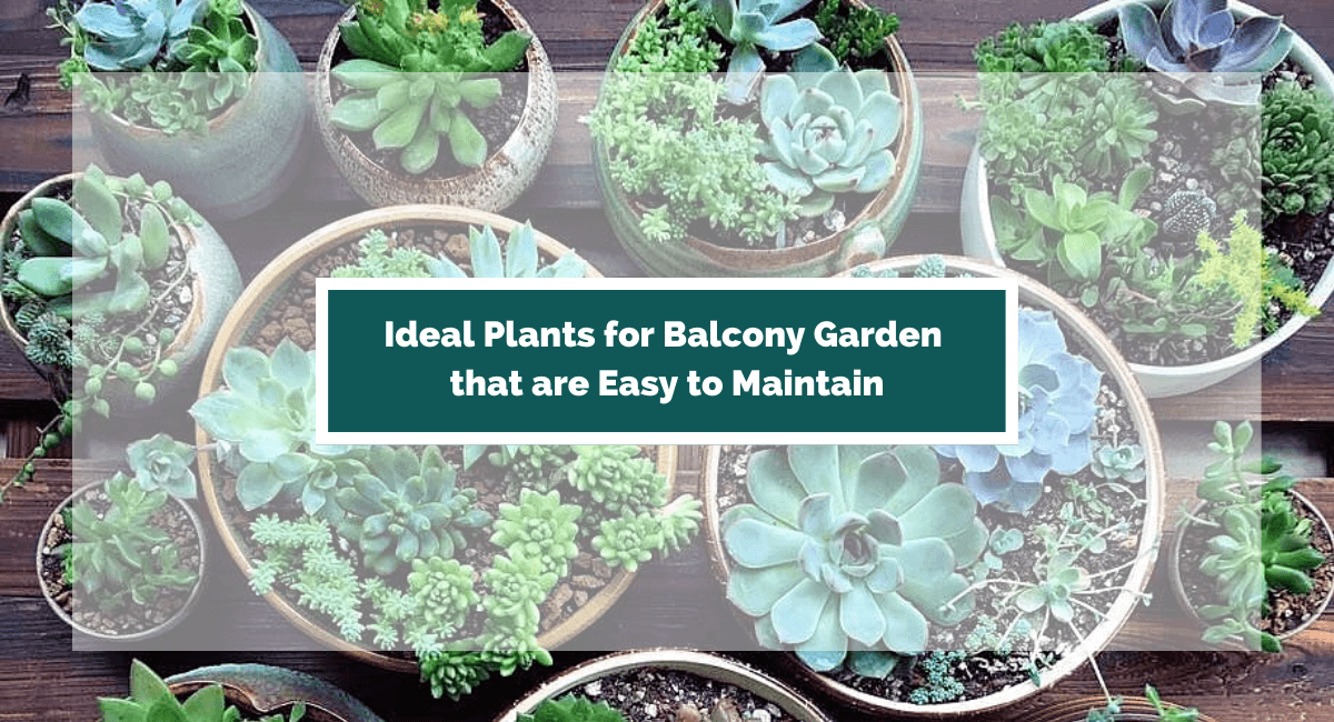 plant for balcony